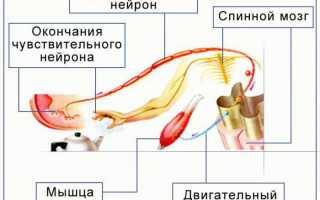 Рефлекторная дуга в биологии