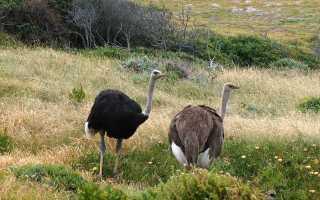 Африканский страус, описание, где обитает?
