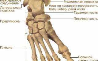 Анатомия связок и суставов нижних конечностей человека