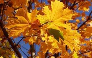 Кленовые листья лечение суставов противопоказания