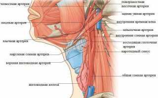 Анатомия лор-органов: мрт лица и шеи ‒ интерактивный атлас анатомии человека в срезах