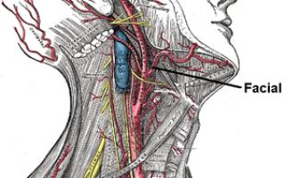 Артерии головы и шеи: язычная, восходящая глоточная, шейная артерии