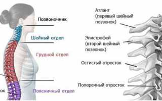 Как называется первый шейный позвонок у человека